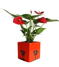 Rolling Nature Exotic Anthurium Red Plant In Orange Cube Aroez Ceramic Pot for Rs. 999