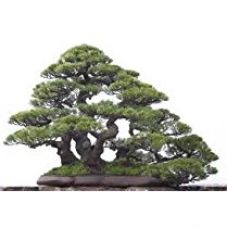 Creative Farmer Real Coast She Oak Bonsai Suitable Seeds (Pack of 20 Seeds) for Rs. 99