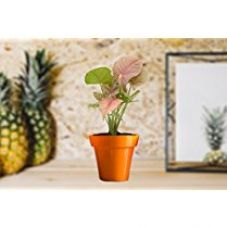 Buy Rolling Nature Good Luck Pink Syngonium Plant in Small Orange Colorista Pot from Amazon