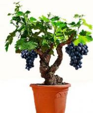 Futaba Miniature Grape Vine Seeds - 50 Pcs for Rs. 515