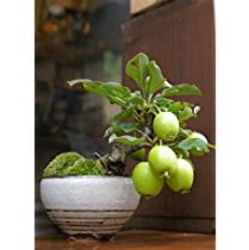 Buy Creative Farmer Imported Guava Bonsai Suitable Seeds from Amazon