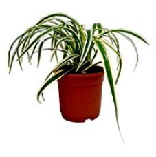 Buy Root Bridges Spider Indoor Plant (Pot included) from Amazon