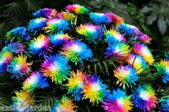 20PCS Rainbow Chrysanthemum Flower Seeds Colorful Potted Home Garden Bonsai for Rs. 100