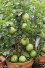 BONSAI GIANT THAILAND GUAVA FRUIT SEEDS - 30 seeds Imported Seeds for Rs. 100