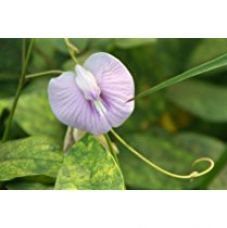 Buy Creative Farmer Violet Butterfly Pea or Darwin Pea Flowers or Clitoria Ternatea Herb Seeds (Pack of 25 seeds) from Amazon