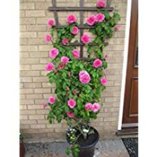 Creative Farmer Beginners Climbing Rose Bonsai Suitable Seeds for Rs. 99
