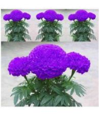 Purple Blue Marigold Seeds Home Garden Flower Seed Potted Plant Seeds 30 seeds for Rs. 204