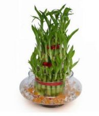 Buy Green Plant Indoor 3 Layer Lucky Bamboo Plant for Rs. 555