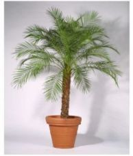 Flat 50% off on PLANT WORLD PHOENIX Palm Indoor Plant